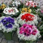 květiny pro českou Miss